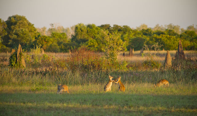 Kangaroos playing on the airstrip